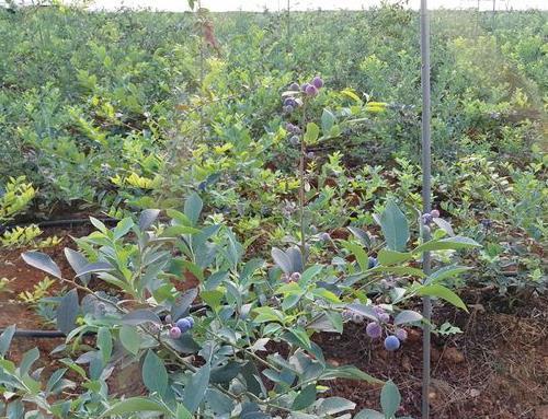 蓝莓种植基地查总